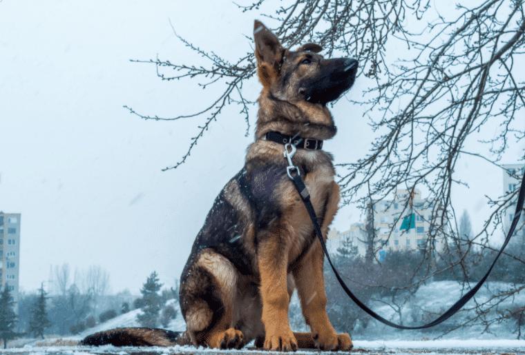 Best Leashes for German Shepherd