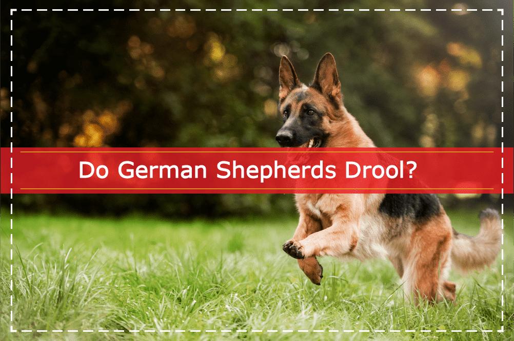 Do German Shepherds Drool