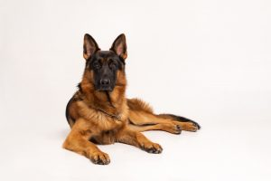 How Much Does a German Shepherd Cost 1