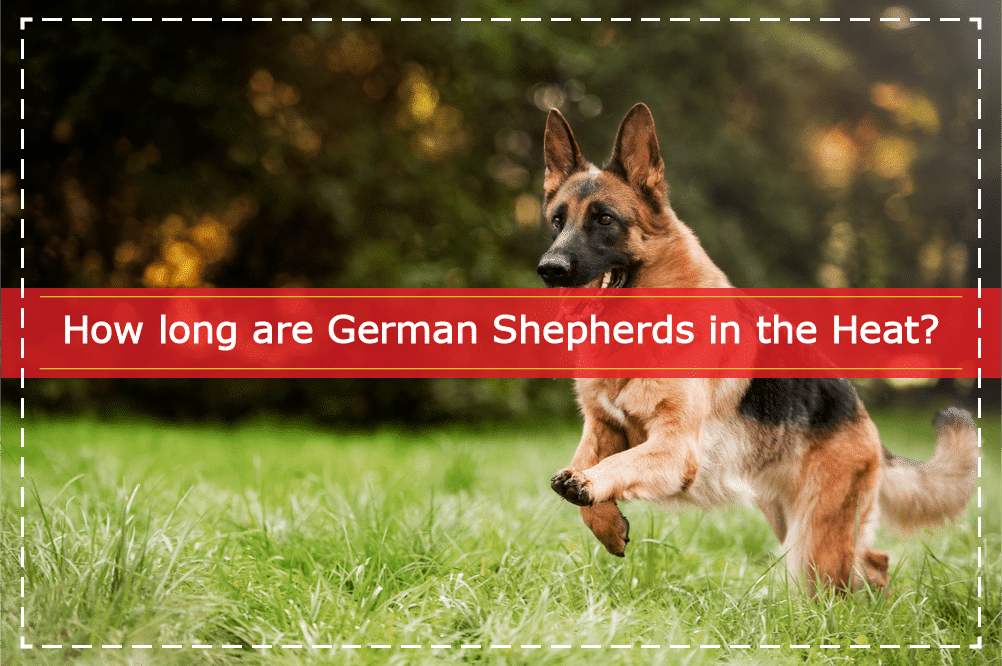 How long are German Shepherds in the Heat
