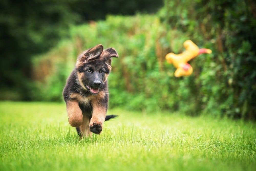 How to Train a German Shepherd Puppy 1