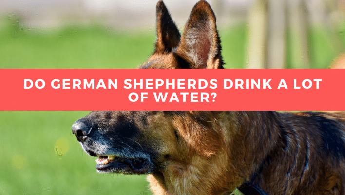 Do German Shepherds Drink a lot of Water