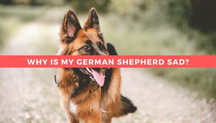 Why is my German shepherd sad