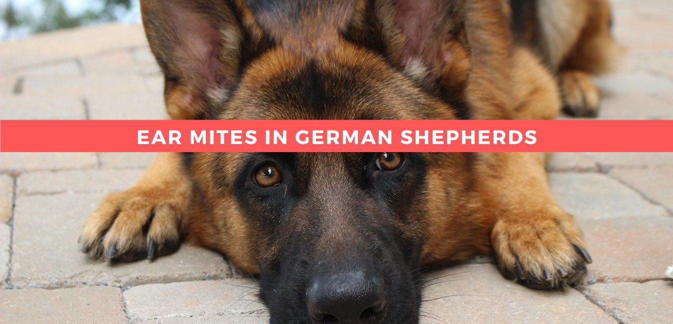 Ear Mites in German Shepherds