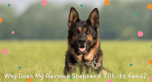 Why Does My German Shepherd Tilt its head